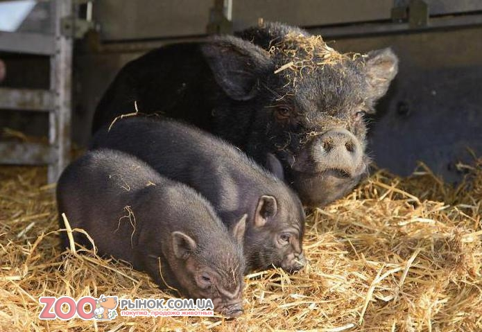 Вьетнамские свиньи содержание уход в домашних условиях